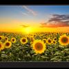 Tablou blooming sunflowers, Printly