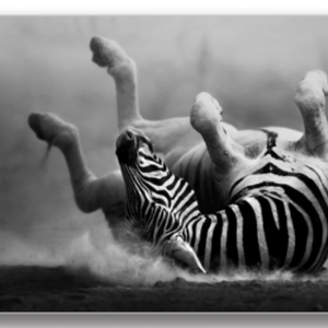Tablou zebras rolling in the dust, Printly