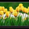 Tablou yellow tulips, Printly