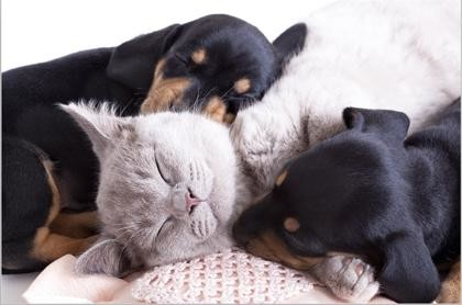 Tablou kitten and puppies
