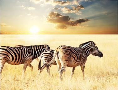 Tablou zebras on sunset